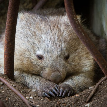 vombato Lucy the Wombat