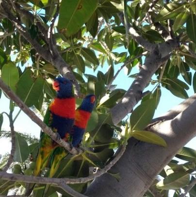 Vivere a Melbourne: due lorichetti arcobaleno su un ramo
