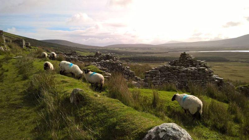 pecore che pascolano tra rovine storiche