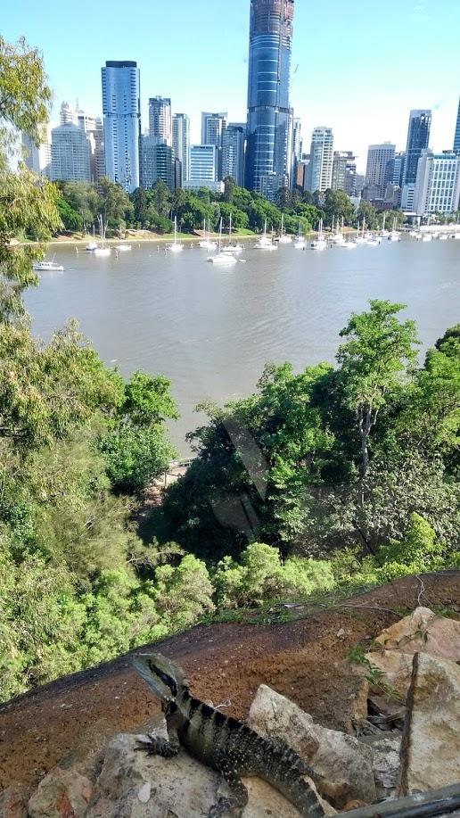 Iguana sul fiume Brisbane