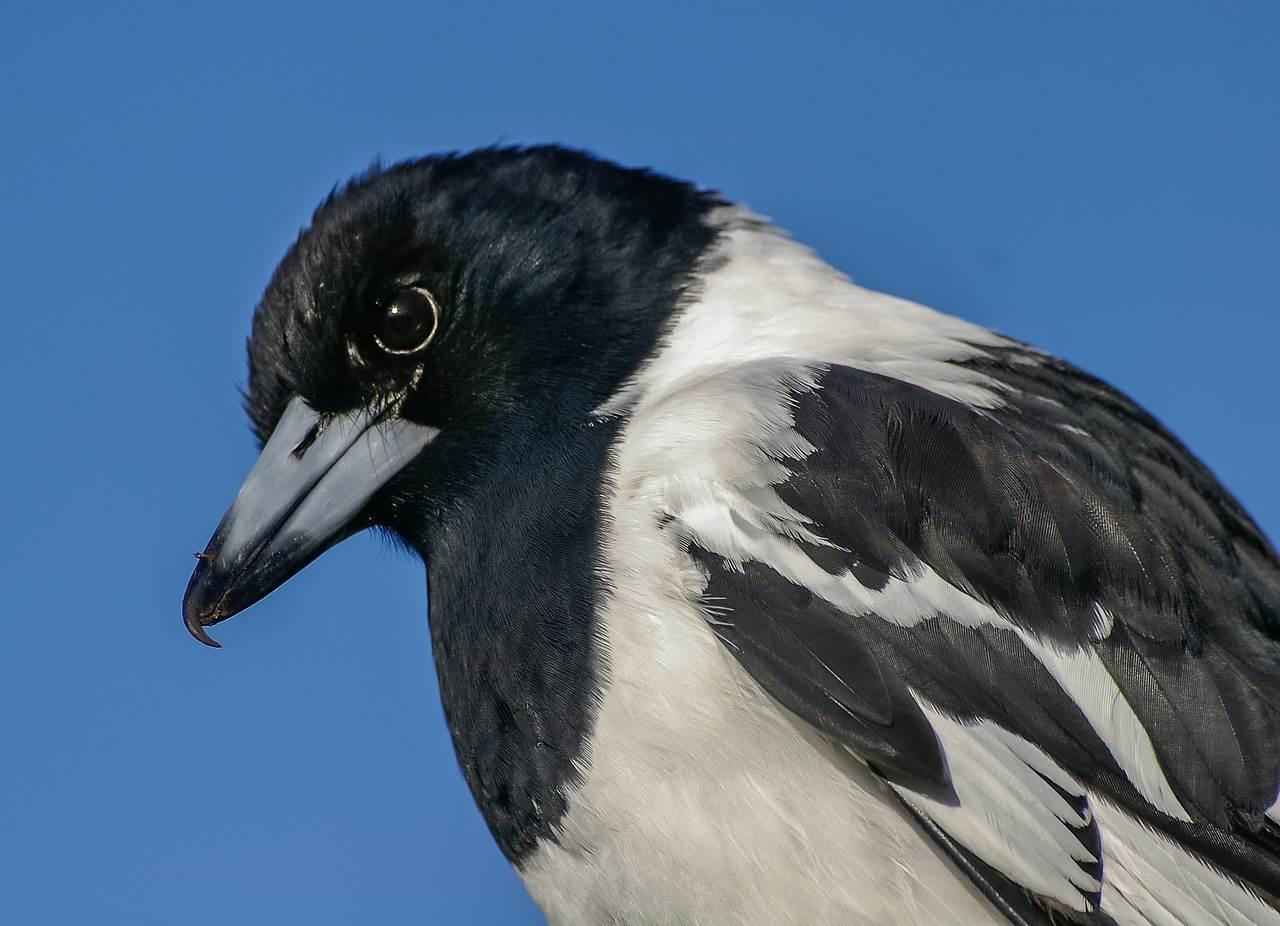 uccello-pied-butcherbird-primo piano