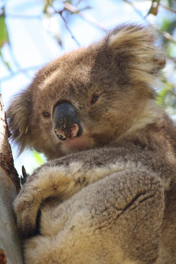 Un koala col pattern di macchioline rosa sul naso