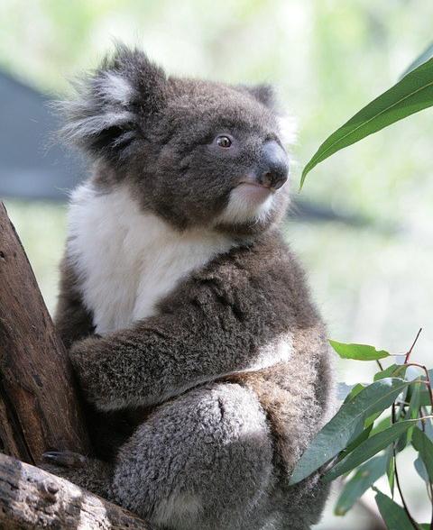 Koala femmina adulta