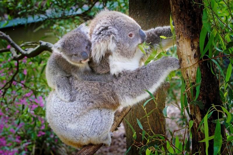 Mamma koala con cucciolo in groppa