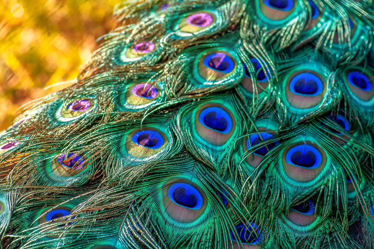 peacock-3465442_1280
