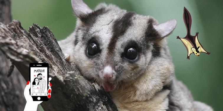pene biforcato nei marsupiali)