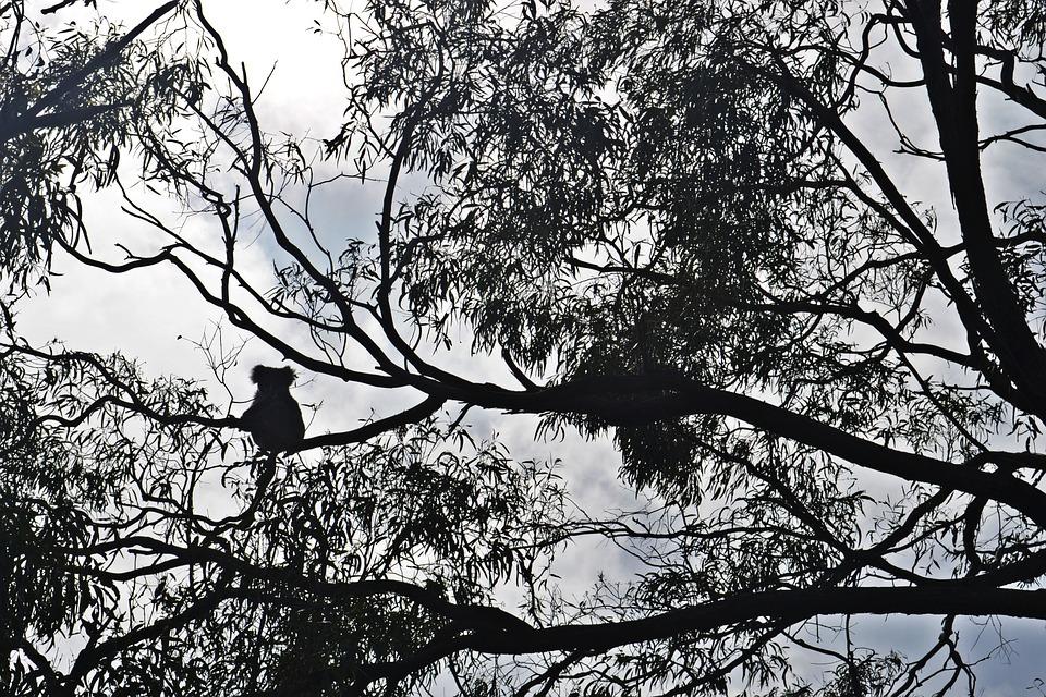 La sagoma di un koala da lontano sui rami di eucalipto