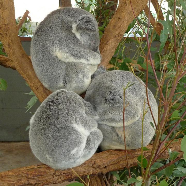 Tre koala che dormono appallottolati sui rami