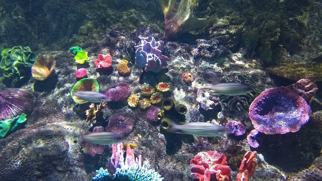 coralli2