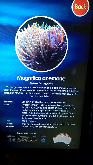 magnifica anemone