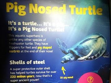tartaruga con il naso da maiale