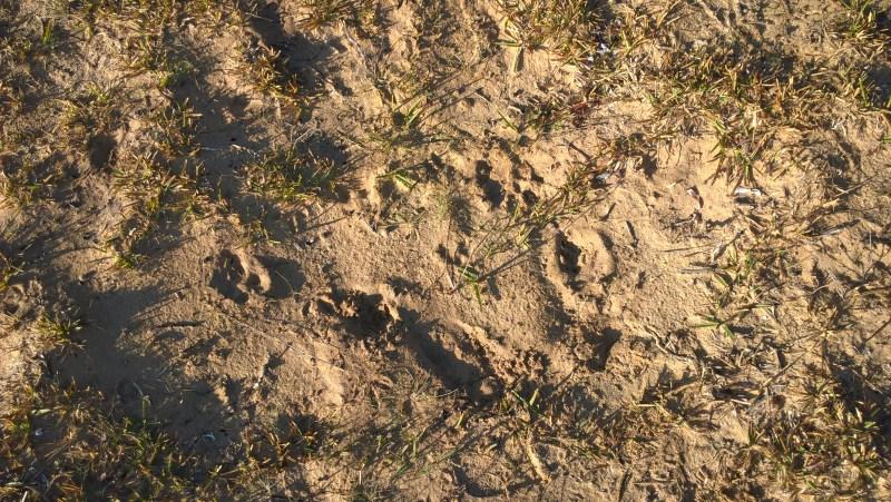 impronte orme wombat