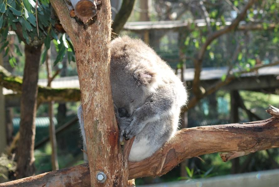 koala che dorme su un albero