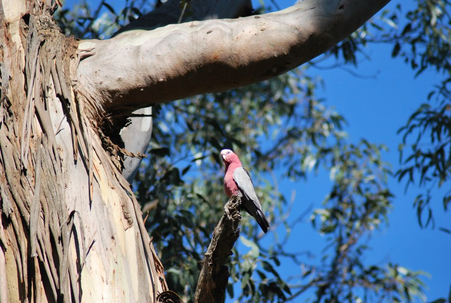 pappagallo rosa galah su un ramo