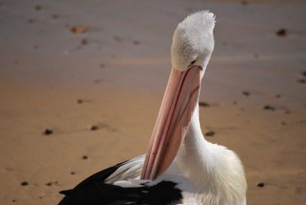 pellicano-australiano-primo-piano-becco-molle