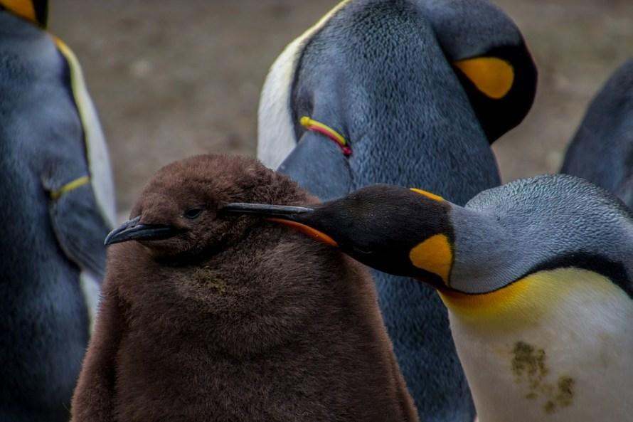 pinguini imperatore giovane & vecchio