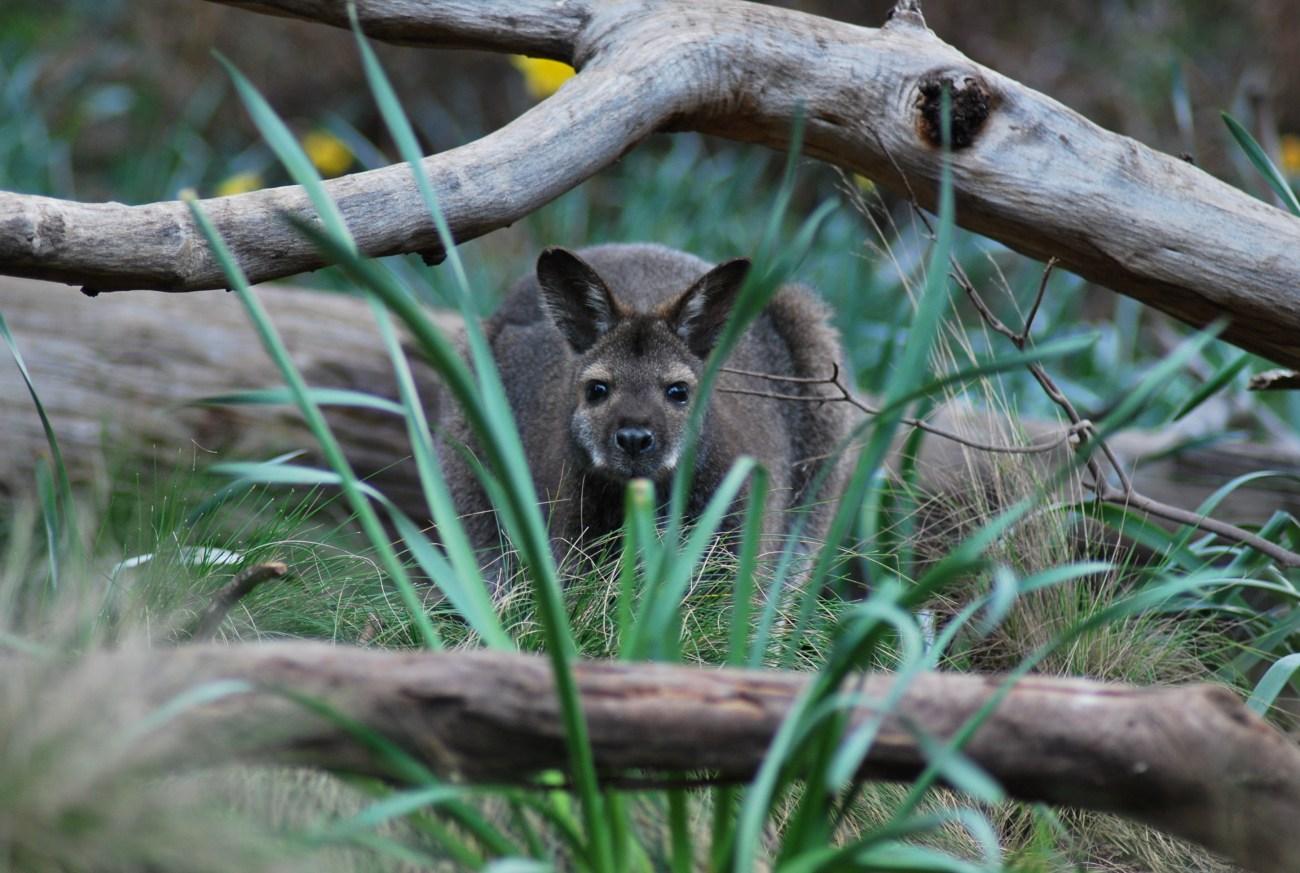 wallaby-che-spia-tra-i-rami