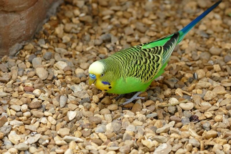 cocorita-perrochetto-australiano