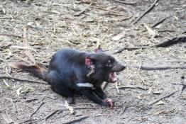 diavolo-tasmania-2