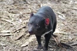 diavolo-tasmania-3