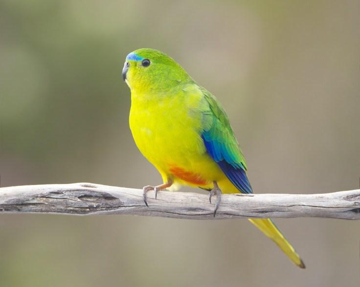 pappagallo panciarancio