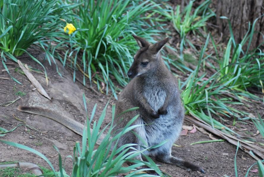 un-wallaby