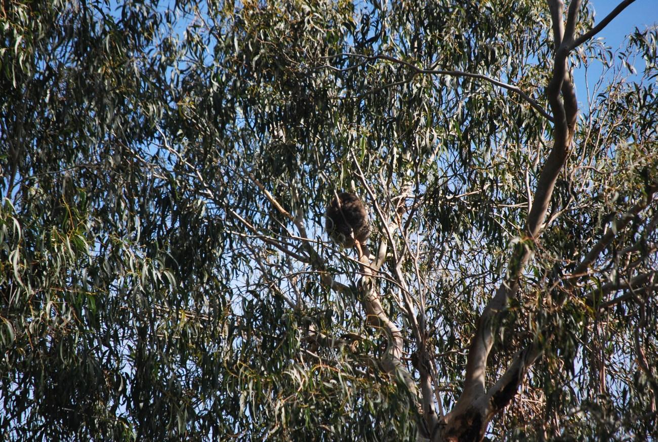 koala che dorme su un lontano eucalipto