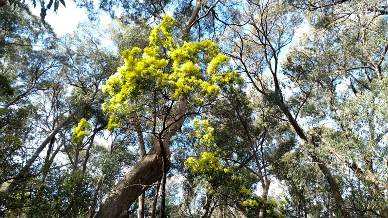 acacia mimosa tra gli eucalipti