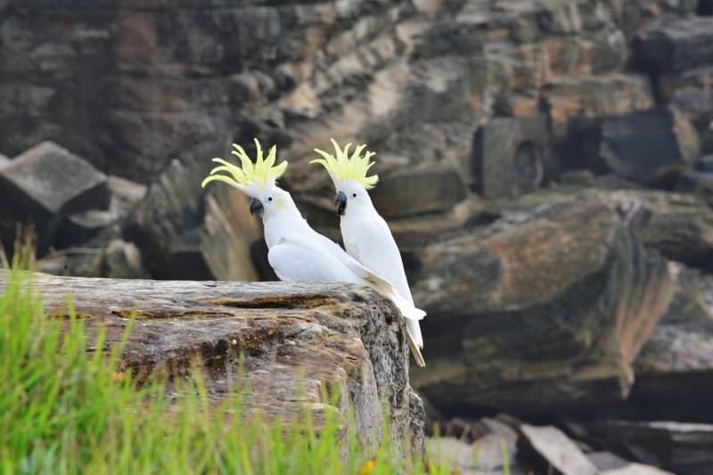 due pappagalli cacatua gialli con crestina alzata