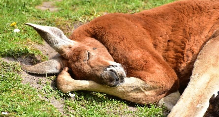 canguro rosso addormentato sorridente