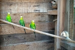 tre cocorite verdi allineate