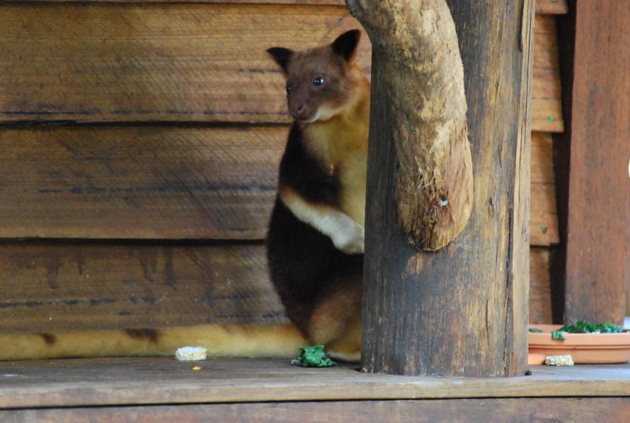 canguro arboricolo piccolo cucciolo