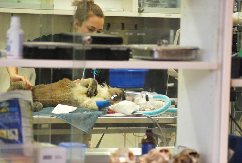 koala medicato sotto anestesia