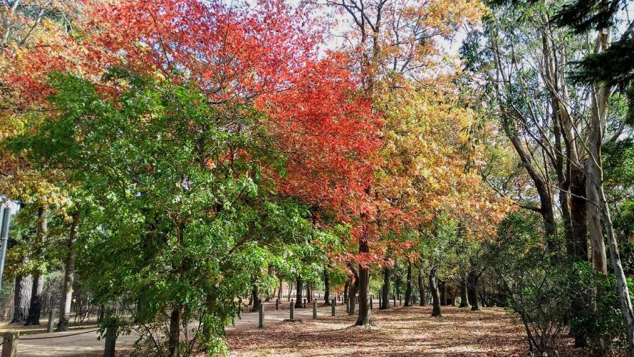 autunno sulla mornington peninsula alberi di tre colori