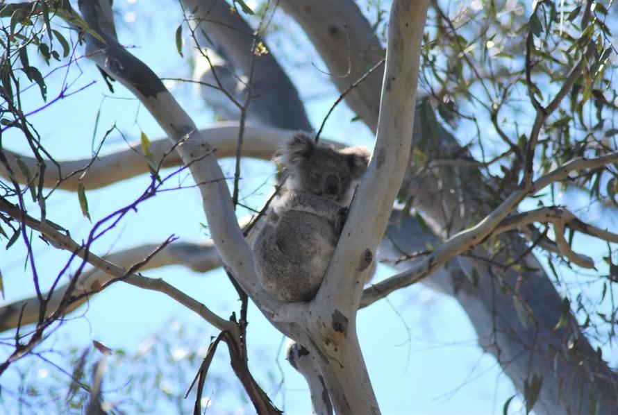 koala giovane che non riesce a stare sveglio