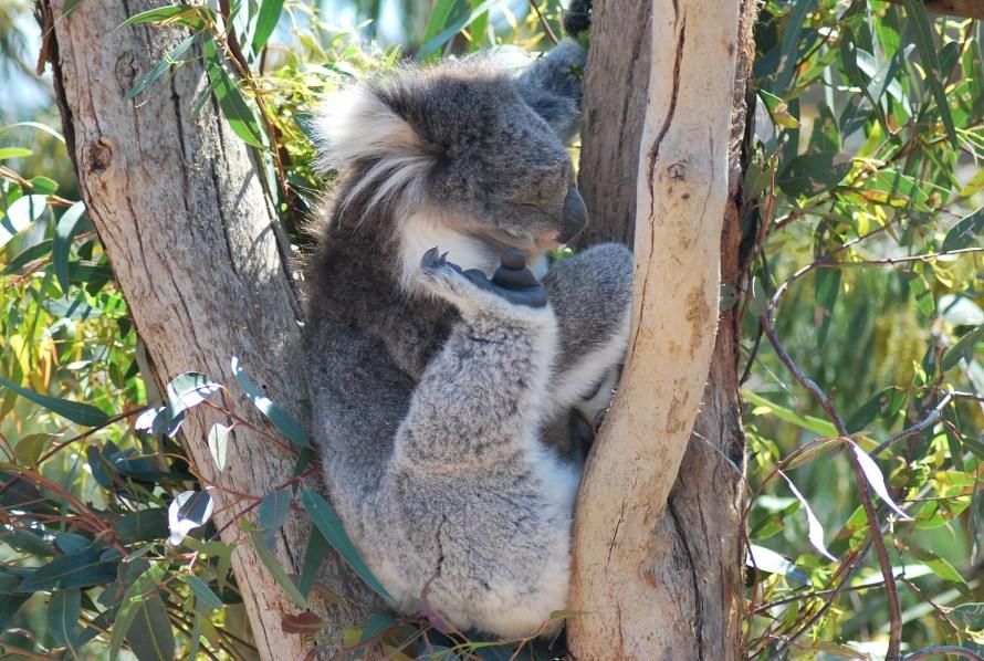 koala che si gratta su un albero