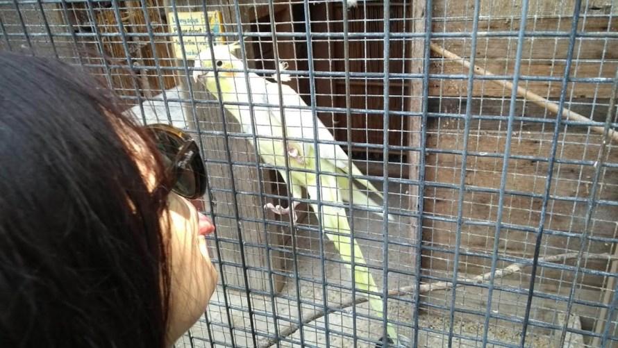 ragazza che fa la linguaccia a un pappagallo calopsitta
