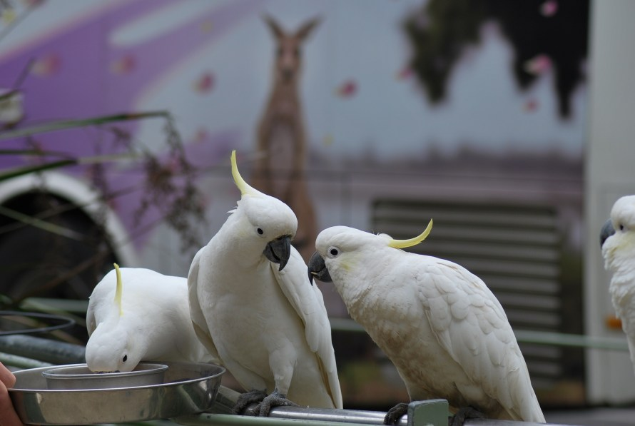 3 esemplari di cacatua bianco che mangiano e sono felici