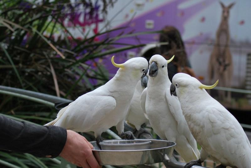 pappagalli cacatua che litigano per il cibo