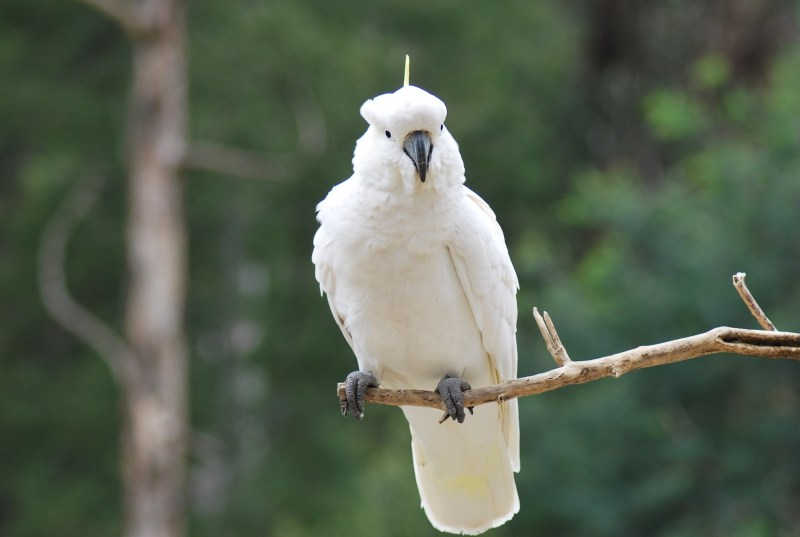 pappagallo bianco cacatua su un ramo
