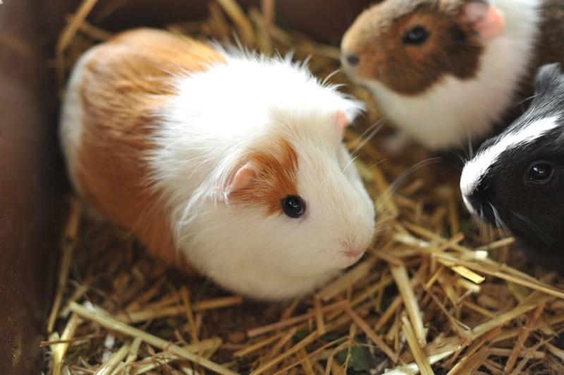 porcellino d'india marrone e bianco