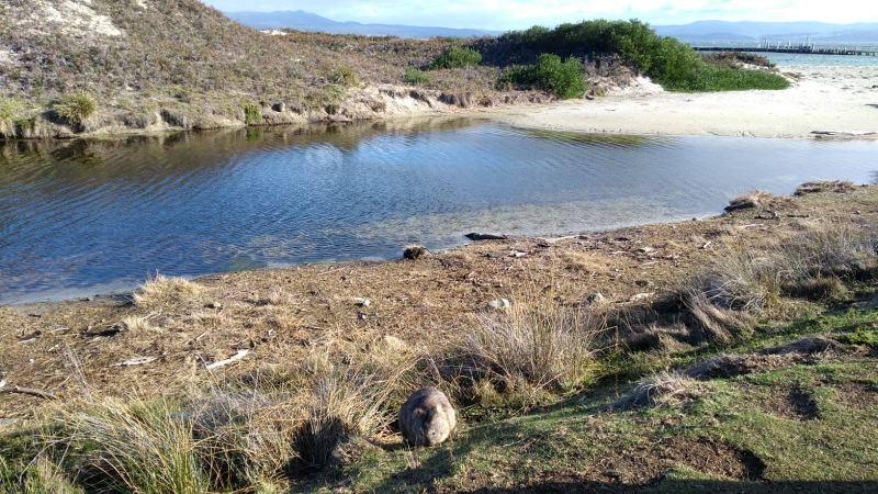 Maria Island, Tasmania: fiume e vombato in primo piano