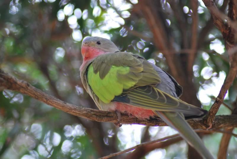 pappagallo della Principessa Alessandra