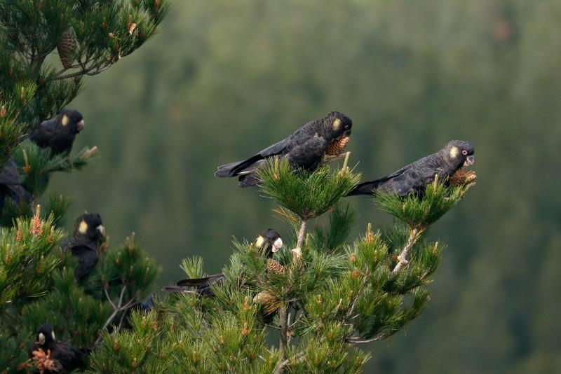 Cacatua neri dalla coda gialla che mangiano pigne su un albero