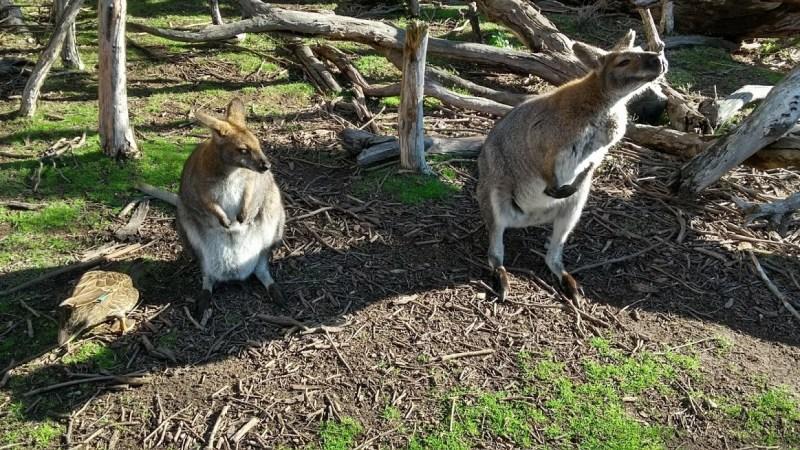 due wallaby curiosi