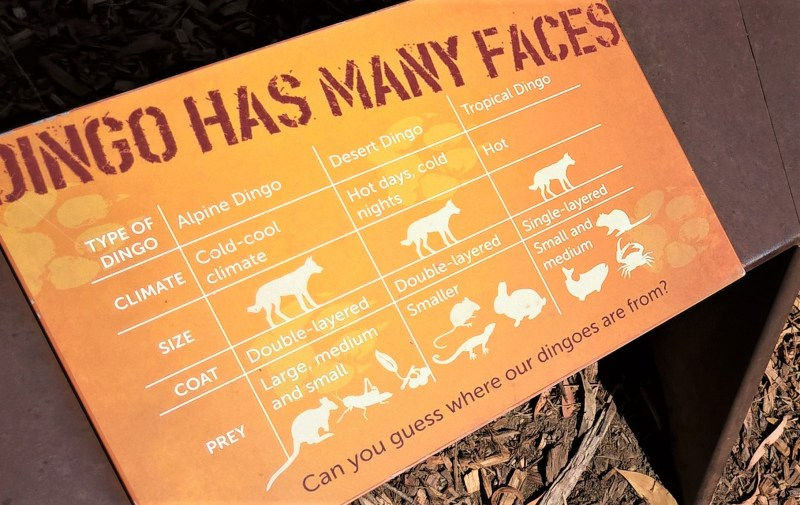 Tipi di dingo: differenze di aspetto, habitat, prede