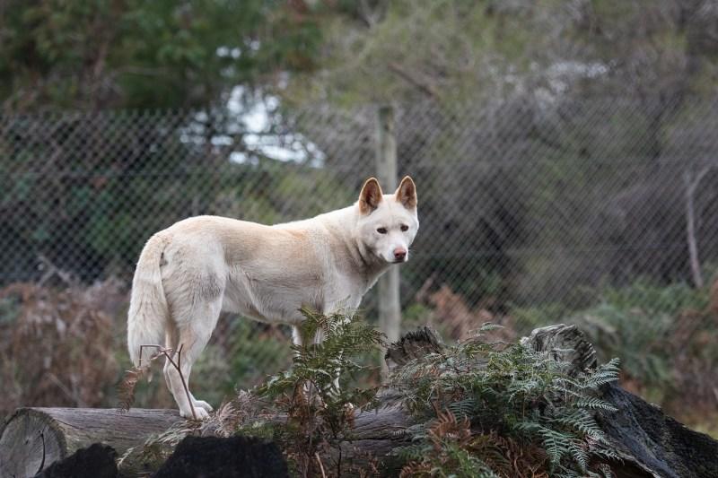 Un dingo quasi bianco
