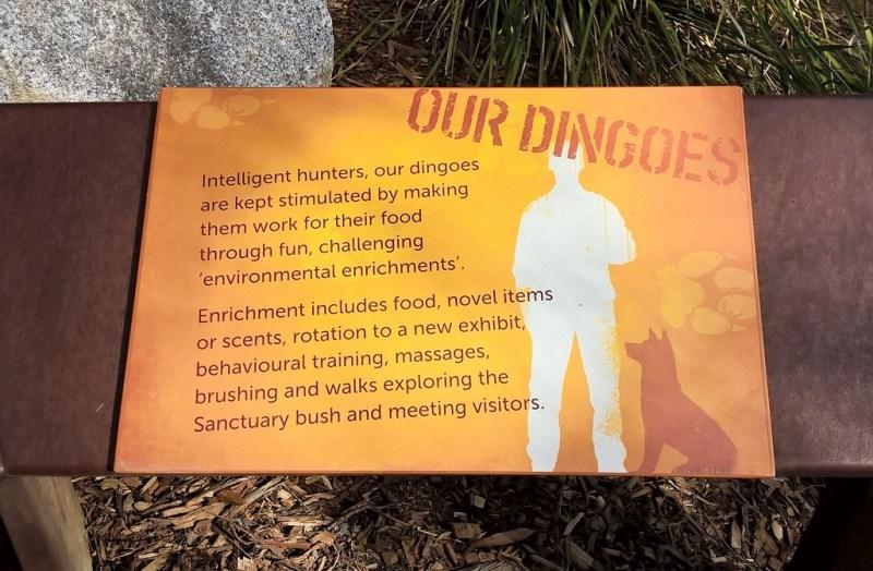 Come tenere i dingo in cattività al meglio, secondo lo Healesville Wildlife Park