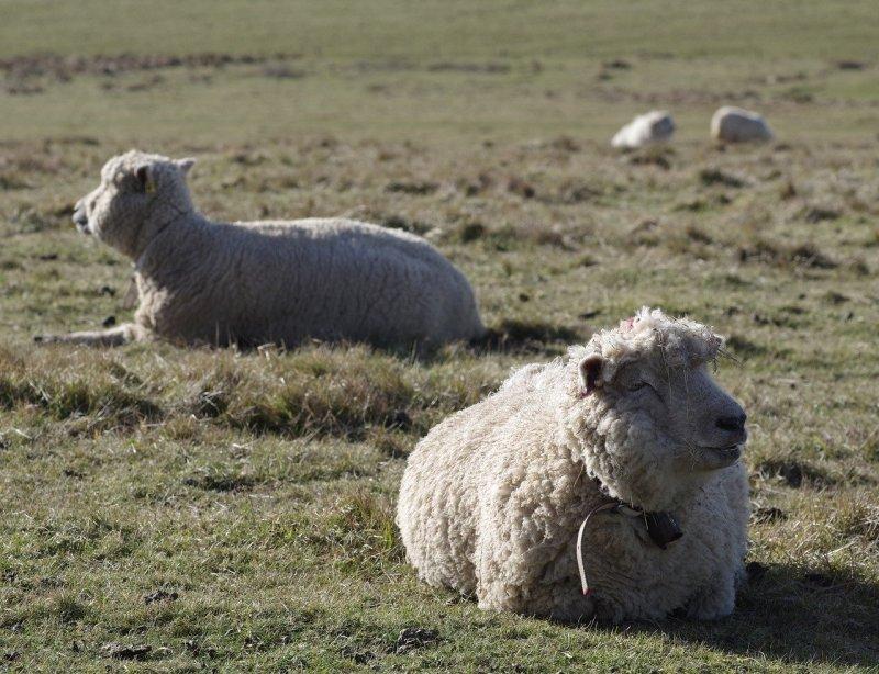 due esemplari di pecora merino