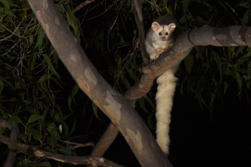petauro maggiore con coda lunghissima, su un albero, di notte